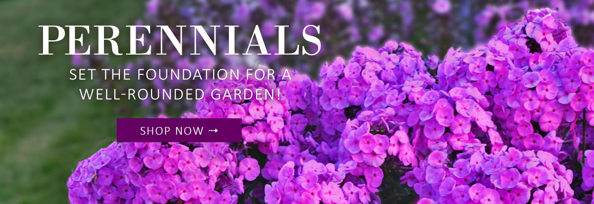 PERENNIALS - SHOP NOW