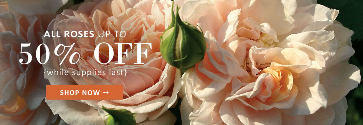 ALL ROSES UP TO 50% OFF - SHOP NOW
