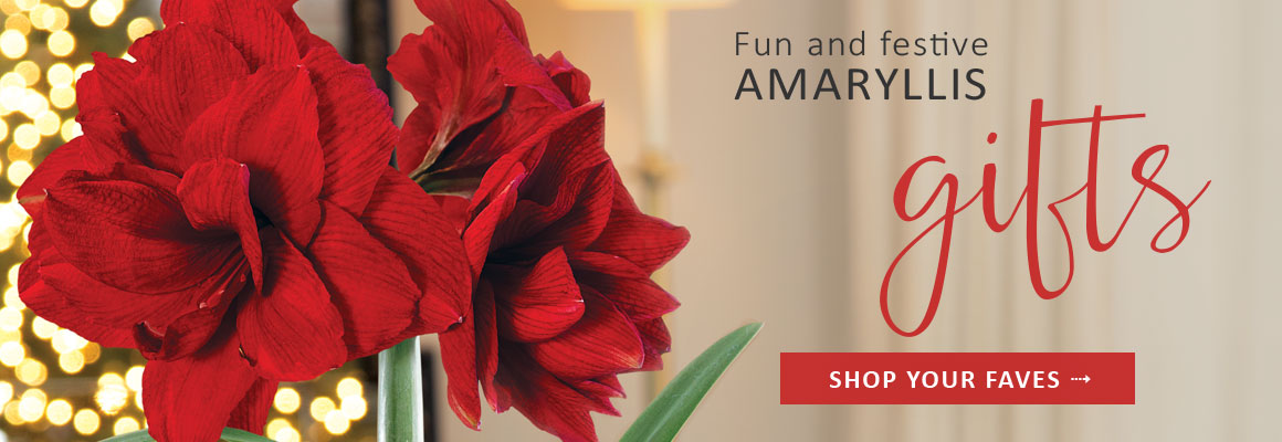 FUN AND FESTIVE AMARYLLIS GIFTS - SHOP NOW
