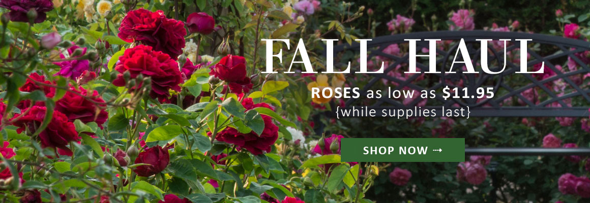 FALL HAUL   Roses As Low As $11.95 While Supplies Last   SHOP NOW