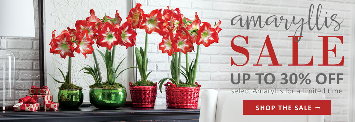 AMARYLLIS SALE up to 30% OFF select Amaryllis for a limited time - SHOP THE SALE
