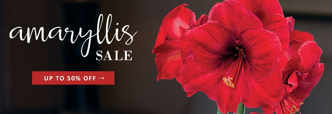 AMARYLLIS up to 50% OFF -- SHOP NOW