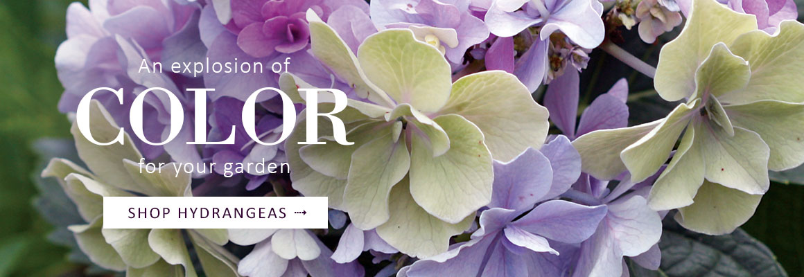 HYDRANGEAS - An explosion of color for your garden - SHOP NOW