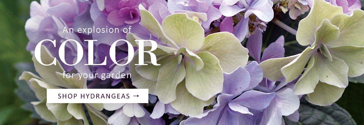 HYDRANGEAS - An explosion of color for your garden - SHOP NOW
