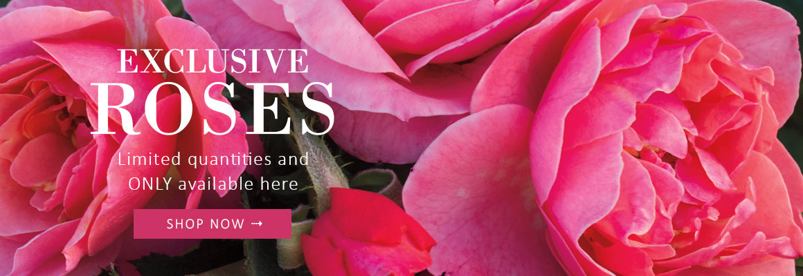 EXCLUSIVE ROSES - Limited quantities and ONLY found right here - SHOP NOW