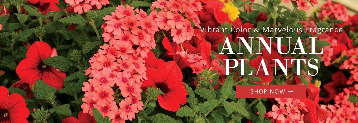 Vibrant Color and Marvelous Fragrance ANNUAL PLANTS - SHOP NOW