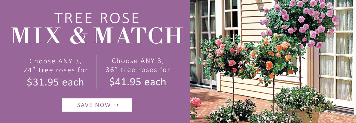 MIX AND MATCH Tree Roses - SAVE NOW