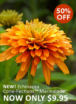 NEW & 50% OFF Echinacea Cone-Fections™ Marmalade NOW ONLY $9.95