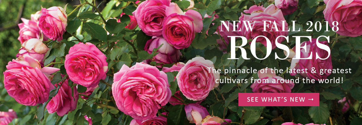 NEW FALL 2018 ROSES - SEE WHAT