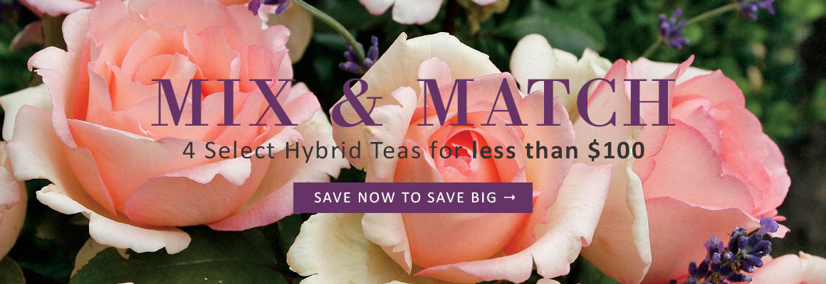 MIX & MATCH 4 Select Hybrid Tea Roses for less than $100 - SAVE TODAY