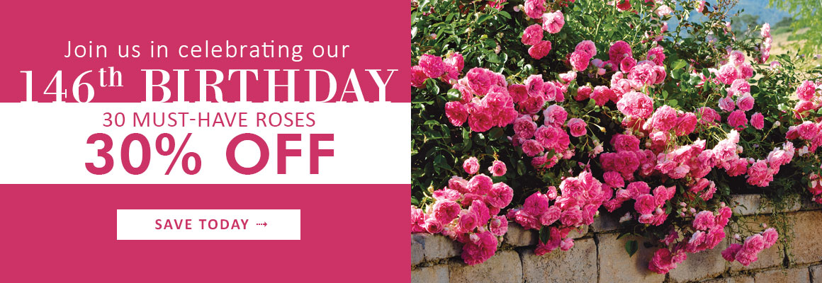 146th Birthday Celebration - 30 Roses, 30% OFF - SAVE NOW