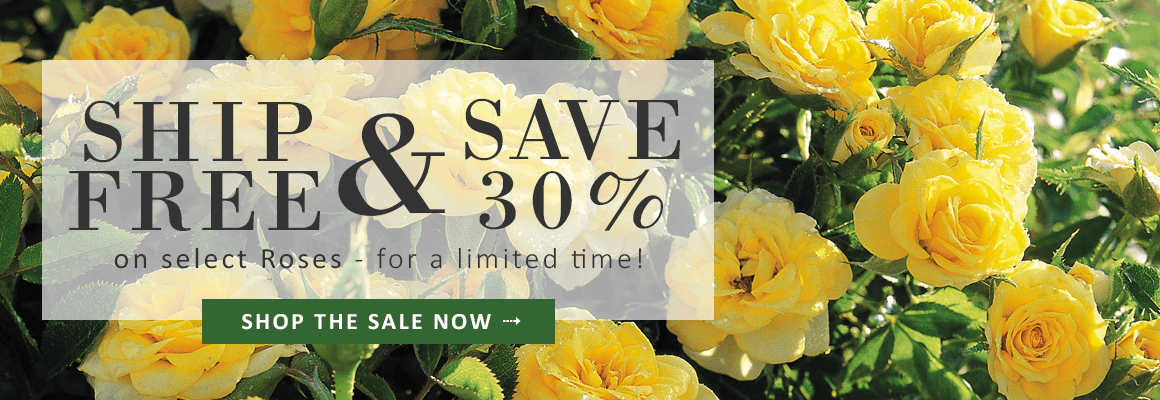 SHIP FREE & SAVE 30% on select Roses for a limited time - SHOP THE SALE