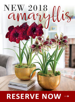 NEW 2018 Amaryllis