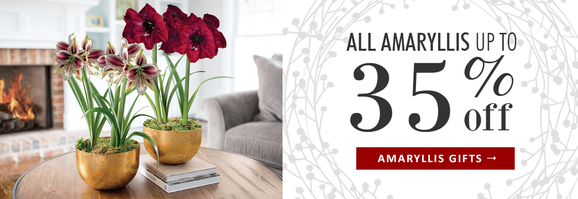 ALL AMARYLLIS UP TO 35% OFF for a limited time - SHOP THE SALE TO SAVE