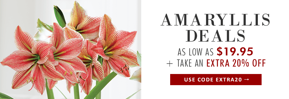 AMARYLLIS BULB GIFTS - SHOP NOW
