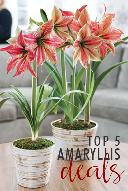 Amaryllis Deals