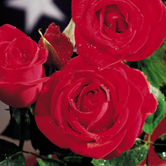 Veterans' Honor Rose