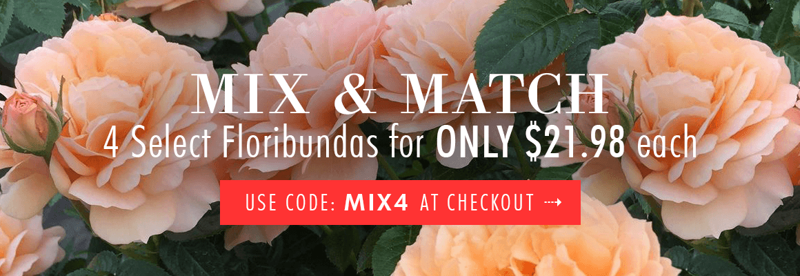 MIX AND MATCH 4 Select Floribunda Roses for ONLY $21.98 each use code: MIX4