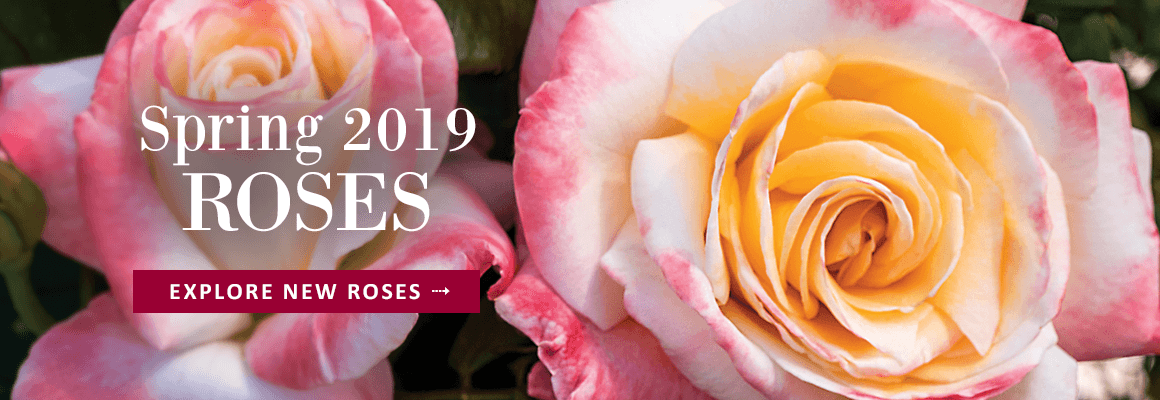 2019 New Rose Collection - EXPLORE NOW