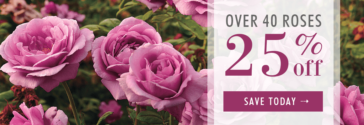 OVER 40 ROSES 25% OFF for a limited time - SAVE NOW