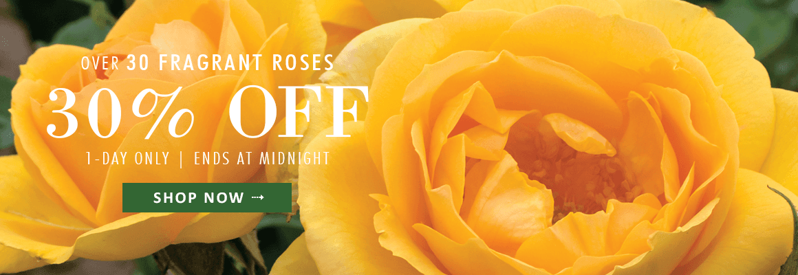 Over 30 Fragrant Roses, 30% OFF