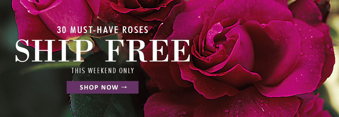 30 MUST-HAVE ROSES SHIP FREE this weekend only