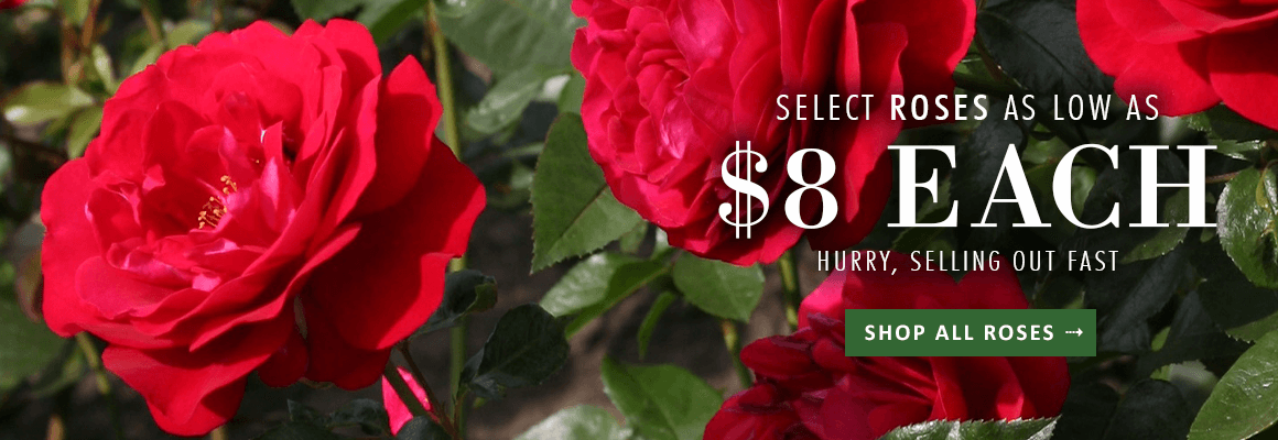 ROSES ON SALE as low as $8 each