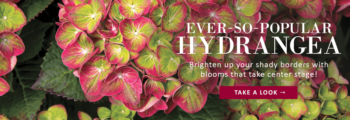 EVER-SO-POPULAR HYDRANGEA - TAKE A LOOK