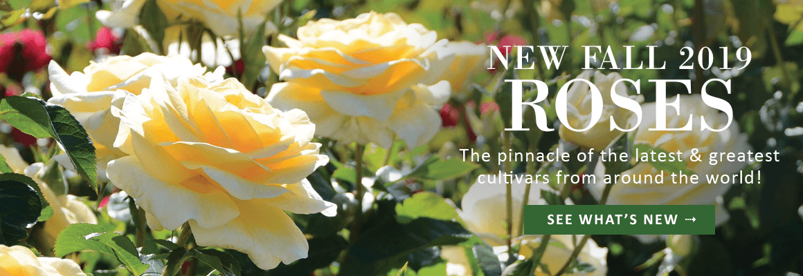 FALL 2019 NEW ROSES - SHOP NOW