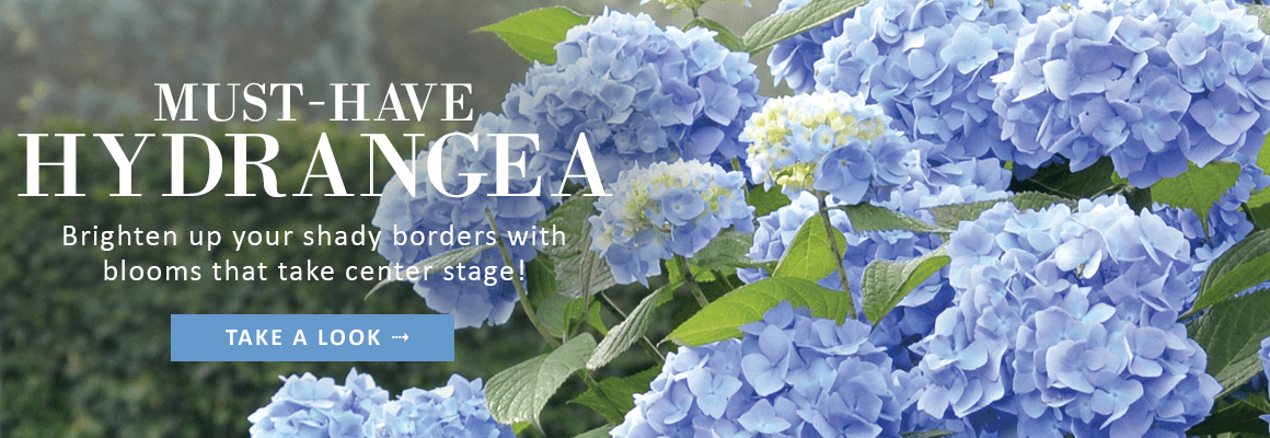 MUST-HAVE HYDRANGEA - TAKE A LOOK