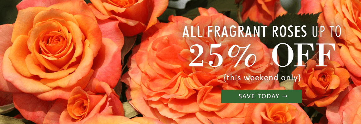 ALL FRAGRANT ROSES UP TO 25% OFF