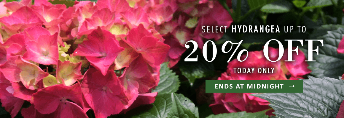 SELECT HYDRANGEA 20% OFF TODAY ONLY
