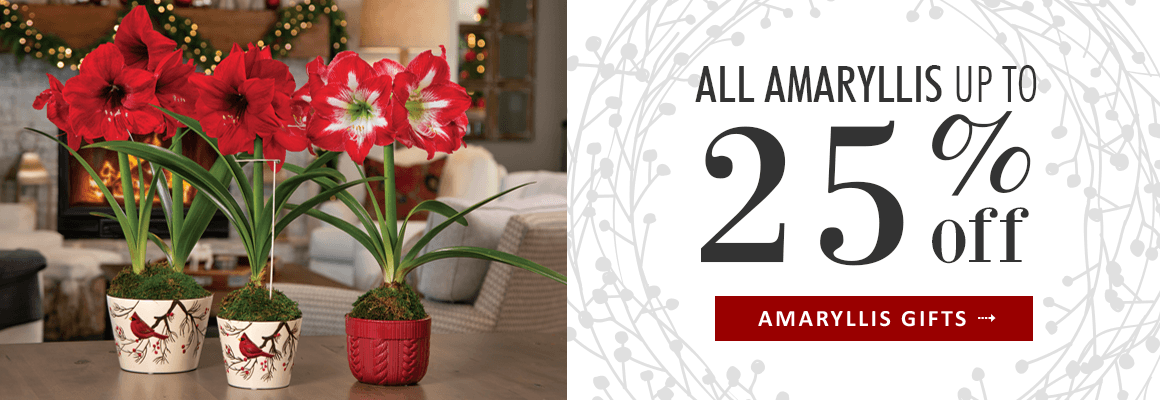 AMARYLLIS UP TO 25% OFF