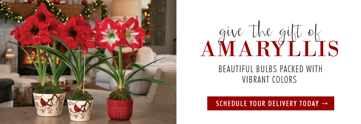 give the gift of Amaryllis