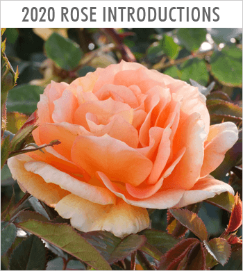 Spring 2020 New Rose Introductions