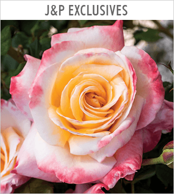 Exclusive JP Roses
