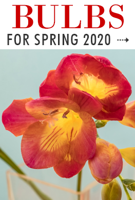 Bulbs for Spring 2020