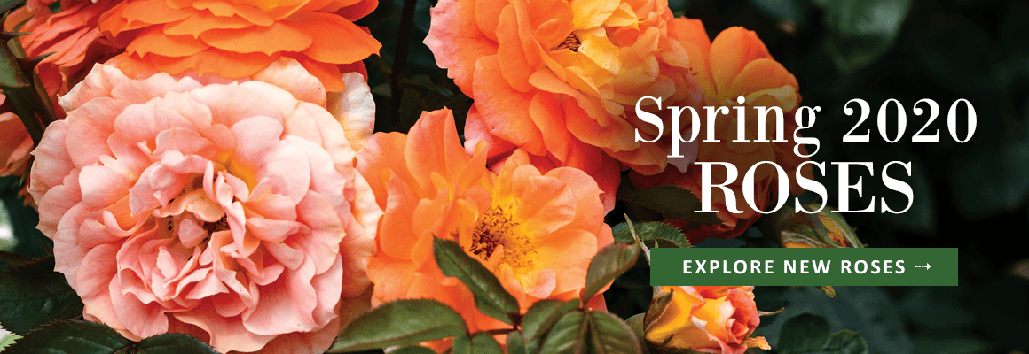 EXPLORE OUR NEW SPRING 2020 ROSE COLLECTION!