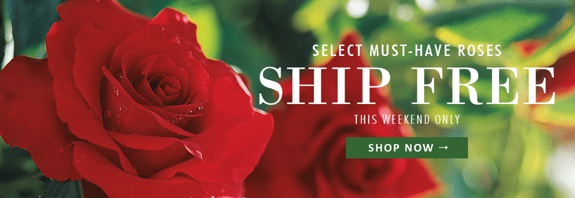 SELECT MUST HAVE ROSES SHIP FREE