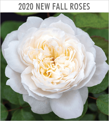 Fall 2020 New Roses Introductions
