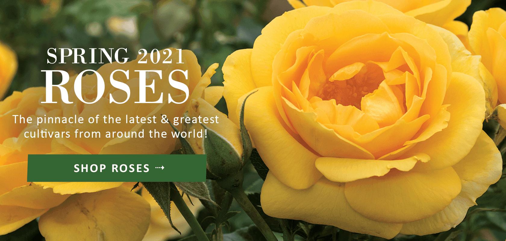 Spring 2021 Roses