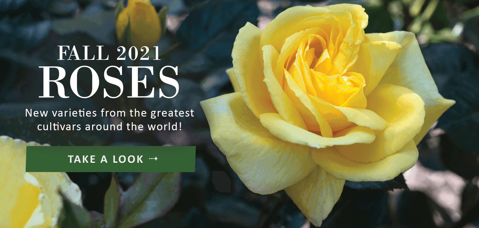 Fall 2021 Roses