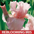 Iris Pink Attraction
