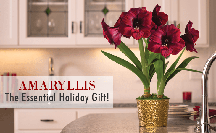Amaryllis: The Essential Holiday Gift!