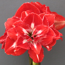 Rock and Roll Amaryllis