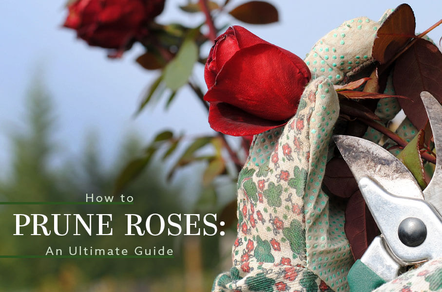 How to Prune Roses: An Ultimate Guide