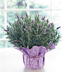 Care Instructions Lavender