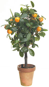 Miniature Lemon Tree