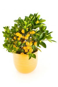 Miniature Tangerine Tree