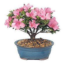 Care Instructions Azalea Bonsai Plant